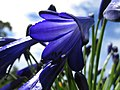 Starr-170513-8635-Agapanthus praecox subsp orientalis-flowers dark purple-Hawea Pl Olinda-Maui (35228126105).jpg
