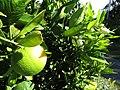 Starr-170923-0255-Citrus sinensis-Cara Cara Navel flowers immature fruit-Hawea Pl Olinda-Maui - Flickr - Starr Environmental.jpg