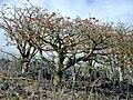 Starr 010714-0021 Erythrina sandwicensis.jpg