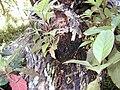 Starr 020518-0007 Cinchona pubescens.jpg