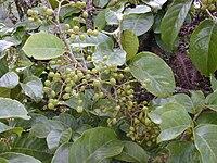 Starr 020925-0046 Antidesma platyphyllum