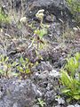 Starr 030628-0068 Ageratina adenophora.jpg