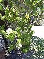 Starr 030702-0056 Hibiscus rosa-sinensis.jpg