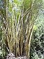 Starr 030807-0120 Bambusa vulgaris.jpg