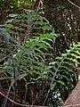 Starr 041121-1047 Phlebodium aureum.jpg