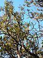 Starr 041219-1586 Freycinetia arborea.jpg
