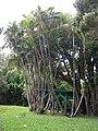 Starr 050107-2890 Chrysalidocarpus lutescens.jpg