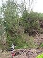 Starr 060422-7761 Casuarina equisetifolia.jpg
