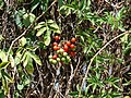 Starr 070228-4904 Solanum seaforthianum.jpg