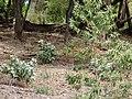 Starr 070518-7127 Myoporum sandwicense.jpg