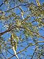 Starr 071227-1043 Prosopis glandulosa.jpg