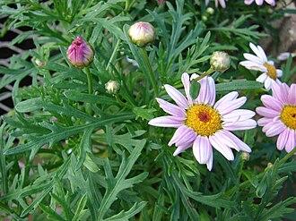 Argyranthemum frutescens - Image: Starr 080103 1308 Argyranthemum frutescens