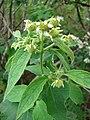 Starr 081230-0656 Montanoa hibiscifolia.jpg
