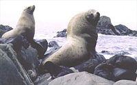 Steller sea lions (Eumetopias jubatus) on rocks.jpg