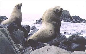 Steller sea lions (Eumetopias jubatus) on rocks.jpg