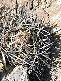 Stenocactus crispatus (5760794879).jpg