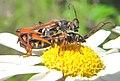 Stenopterus rufus couple.JPG