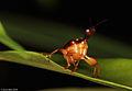 Strange beetle - leaf-rolling weevil (5250660887).jpg