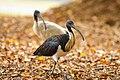 Straw-necked Ibis - AndrewMercer IMG08458.jpg
