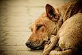 Street Dogs in INDIA.jpg