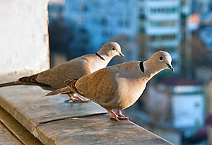 Eurasian collared dove - Image: Streptopelia decaocto balcony two 8