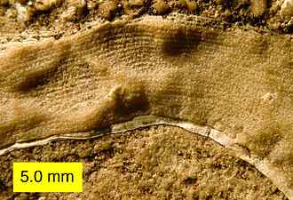 Late Devonian extinction - Side view of a stromatoporoid showing laminae and pillars; Columbus Limestone (Devonian) of Ohio