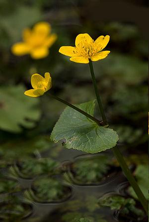 Sumpfdotterblume Caltha palustris