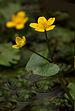 Sumpfdotterblume Caltha palustris.jpg