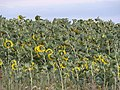 Sunflower field in Kosharka.jpg