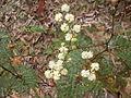Sunshine wattle in bloom (3475399457).jpg