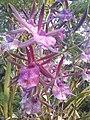Suvarnabhumi Orchids Farm IMG 20160322 080701 (27447080905).jpg