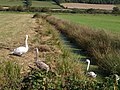 Swans beside Northmoor Drove - geograph.org.uk - 560858.jpg