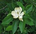 Sweetbay Magnolia Magnolia virginiana Flower Closeup 2146px.jpg