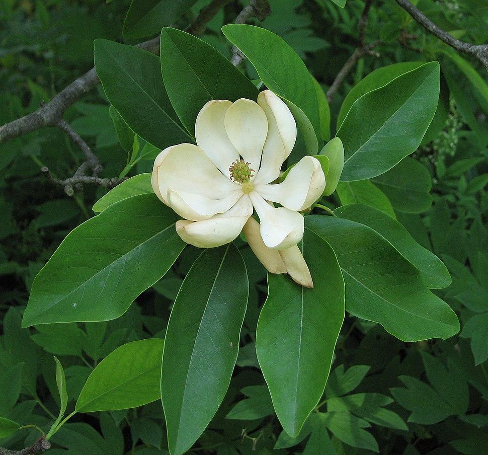 Sweetbay Magnolia Magnolia virginiana Flower Closeup 2146px