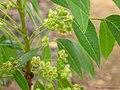 Swietenia mahagoni L. - Flickr - lalithamba.jpg