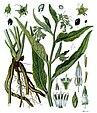 Symphytum officinale - Köhler–s Medizinal-Pflanzen-268.jpg