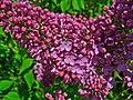 Syringa vulgaris 003.JPG