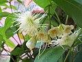 Syzygium aqueum.jpg