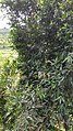 Syzygium jambos 4.jpg