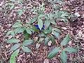 Syzygium megacarpum-3-JNTBGRI-kerala-India.jpg