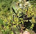 Syzygium zeylanicum 19.JPG