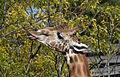 Tête de girafe.jpg