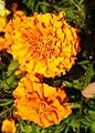Tagetes-Marigold-Flower 02.jpg