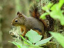 A Douglas squirrel (Tamiasciurus douglasii)