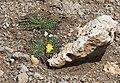 Taraxacum sp - Hindiba, Kartal Dağı 02.jpg