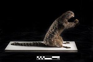 Black-tufted marmoset - Marmoset taxidermy