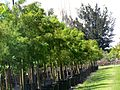 Taxodium Distichum (Bald Cypress) (28279567483).jpg