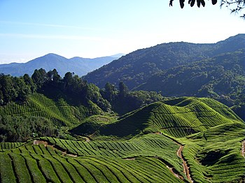 A view of Fields and fields of...... Tea in Ca...