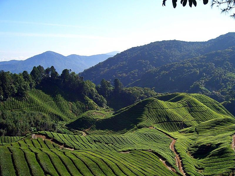 Fichier:Tea fields (Will Ellis).jpg