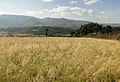 Tef in Ethiopia 01.jpg